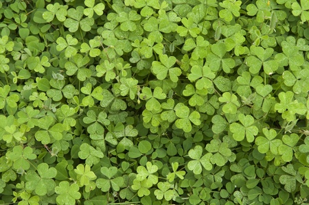three shamrock leaves in a clover patch photo