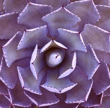cactus desert: Top view of a cactus Stock Photo