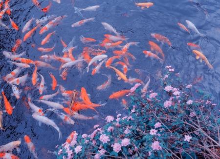 koi pond: Koi carps swimming in the Pond Stock Photo