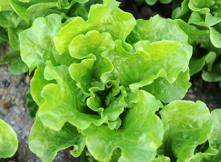 lettuce plant in field photo