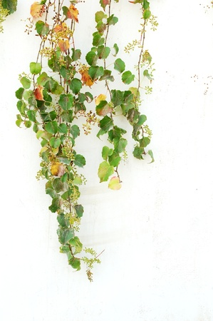 rambler: ivy leaves isolated on a white background