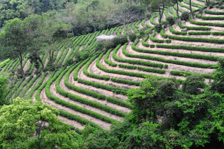 Green tea garden hill photo