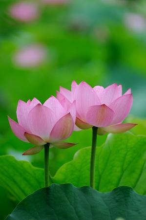 blooming lotus flower photo