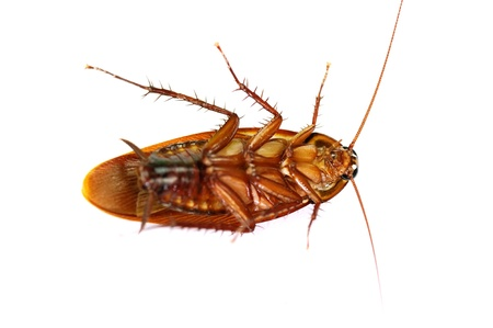 roach: Cockroach on white background