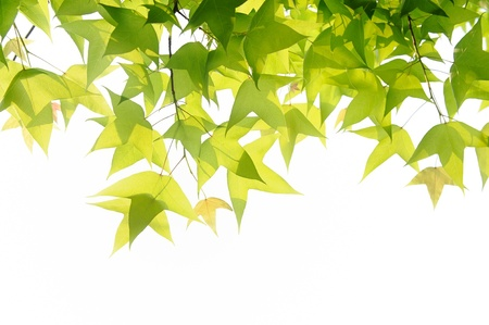 green leaves Stock Photo - 13191799