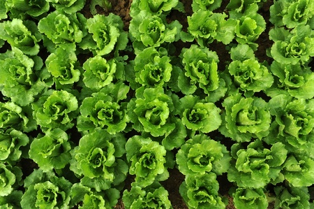 lettuce plant in field Stock Photo - 13191857