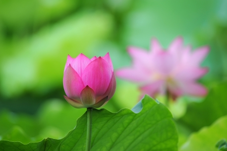 lotus flower Stock Photo - 13841195