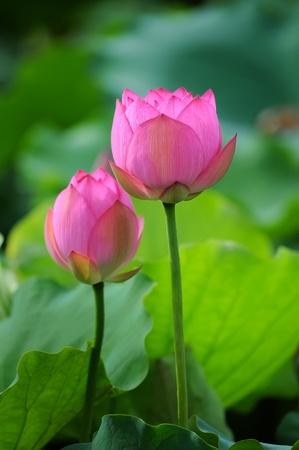 lotiform: lotus flower