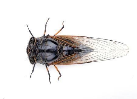 cicada bug: Cicada isolated on white background