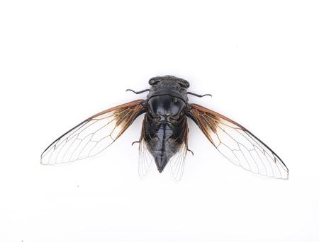 cigarra: Cicada aisladas sobre fondo blanco