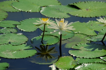 blooming lotus flower over dark background photo