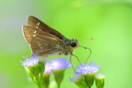 lepidopteran:  skipper resting on blue flower