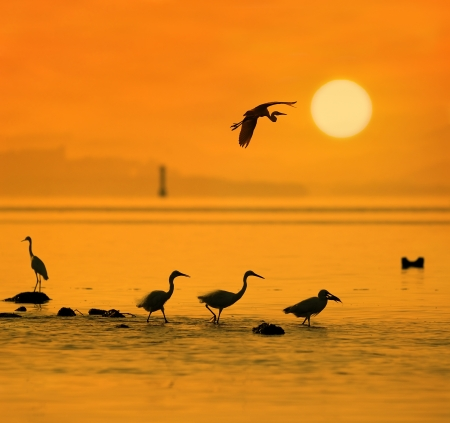 great blue heron: egrets play in sunset Stock Photo