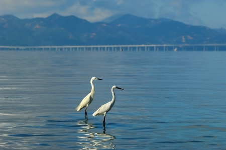 and egrets: egrets play in sunset Stock Photo