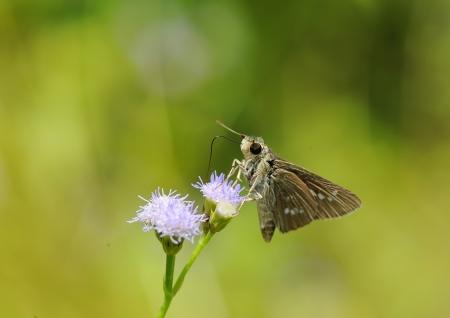 skipper: skipper resting on blue flower