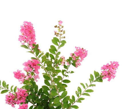 crepe myrtle flowers photo