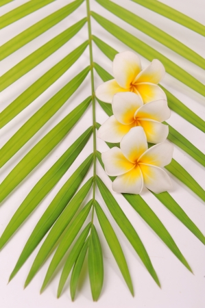 plumeria flowers closeup on green leaves photo