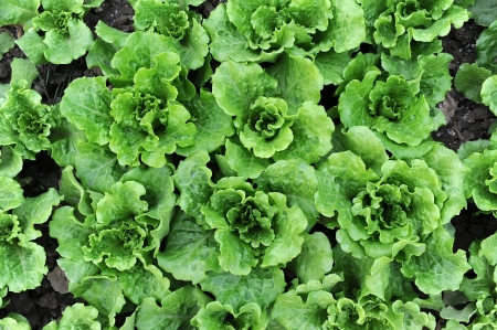 lettuce plant in field Stock Photo - 14683378