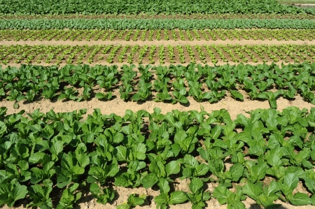 lettuce plant in field Stock Photo - 14683384