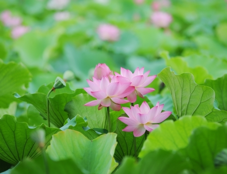blooming lotus flower photo