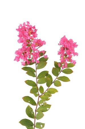 crepe myrtle flowers Stock Photo - 14952611