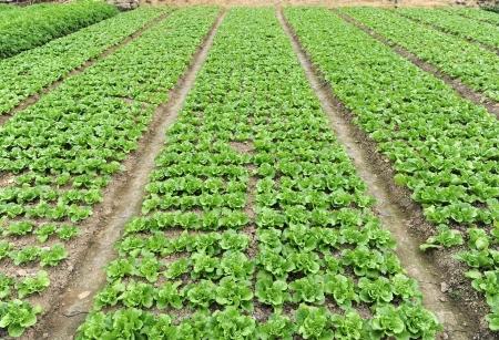 lettuce plant in field Stock Photo - 14952771