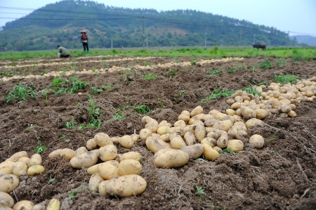 Harvesting in a potato field photo