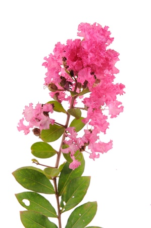 crepe myrtle flowers Stock Photo - 14977279
