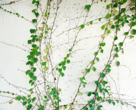 ivy leaves isolated on a white background photo