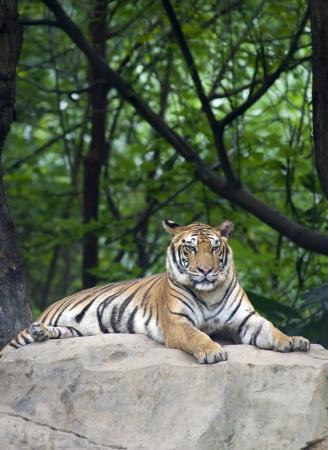 panthera tigris: tiger in its natural habitat  Stock Photo