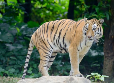 tigre en su h�bitat natural photo