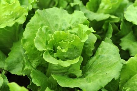lechuga: lechuga planta en el campo