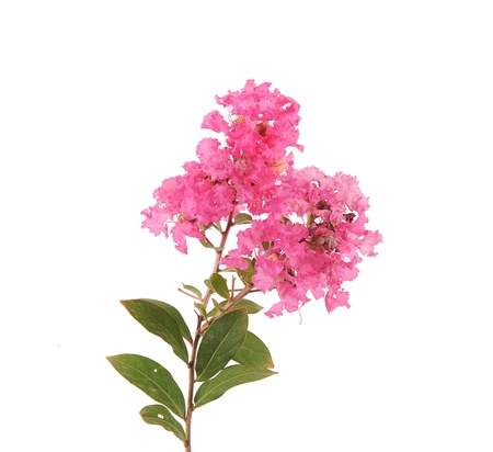 crepe myrtle flowers Stock Photo - 15777581