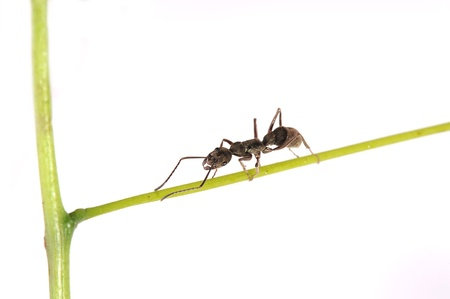 antrey: ant on a green grass Stock Photo