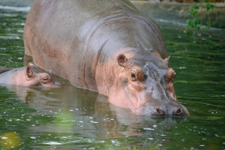 munch: Sparring Hippos Stock Photo