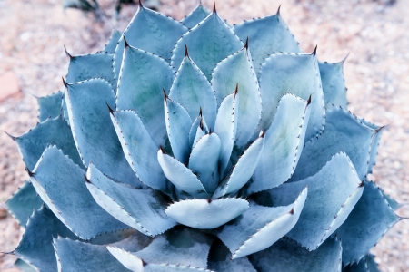 thorns  sharp: Macro of succulent plant in the desert Stock Photo