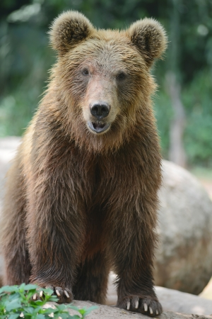 wet bear: brown bear portrait