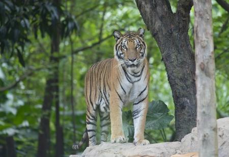 tigre en su h�bitat natural Foto de archivo - 16215853