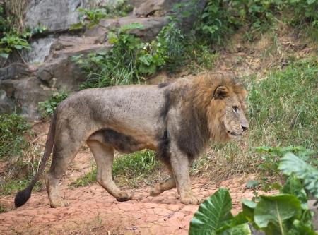 cara leon: Un le�n africano masculino