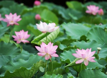 blooming lotus flower Stock Photo - 16564448