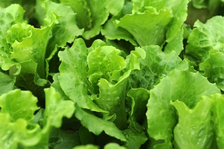lettuce plant in field Stock Photo - 16564727