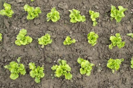 lettuce plant in field Stock Photo - 17042117