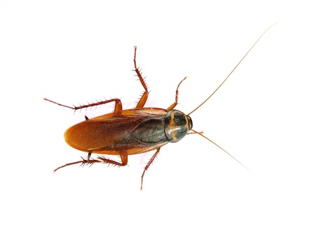 roach: cockroach on white background. Stock Photo