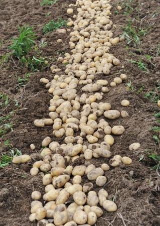 agronomic: Harvesting in a potato field