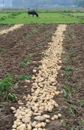 Harvesting in a potato field Stock Photo - 17530905