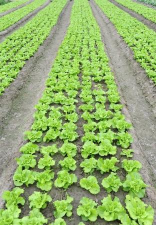 lettuce plant in field Stock Photo - 17530945