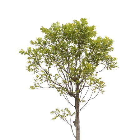 floor plant: Tree isolated on white background