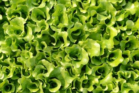 lettuce plant in field Stock Photo - 17743825