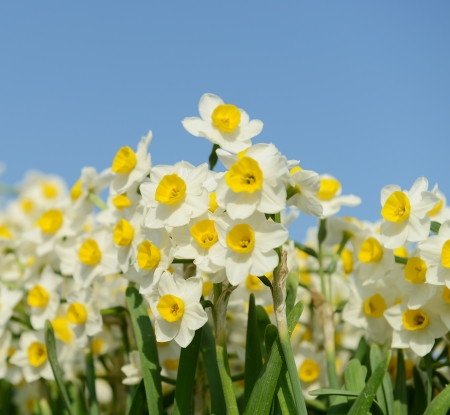 blooming white daffodils in close view Stock Photo - 18213439