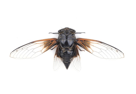 Cicada isolated on white background photo